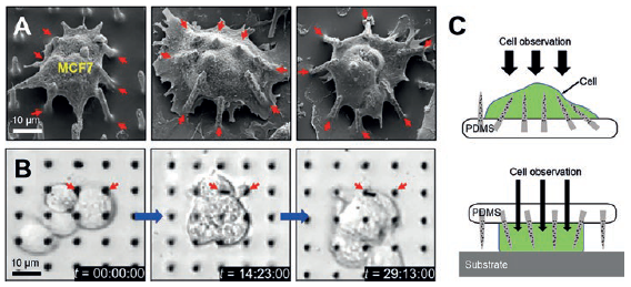 Figure 3: SEM images of tilted Si NNs on a PDMS substrate interacting with a MCF7 cell (A), real-time observation of the MCF7 cells through the transparent PDMS substrate (B) and schematic illustrations of the possible injection schemes from either top or bottom of cells (C).